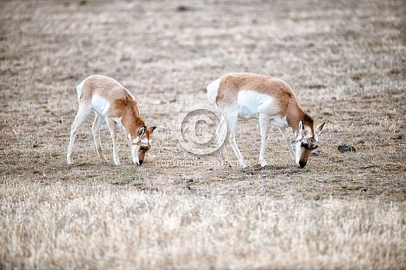 Wild Antelope/Pronghorn