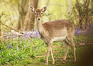 Fallow Deer in Bluebells