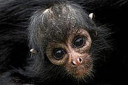 Young Columbian Spider Monkey Close Up