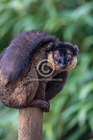 Brown Collared Lemur