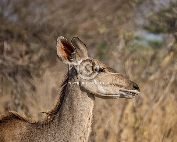 Female Kudu Antelope