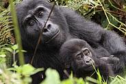 Mountain Gorillas (wild)