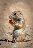 Black tailed Prairie Dog with Carrot