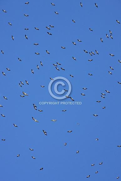 Yellowbilled Storks gliding on the thermals - Botswana