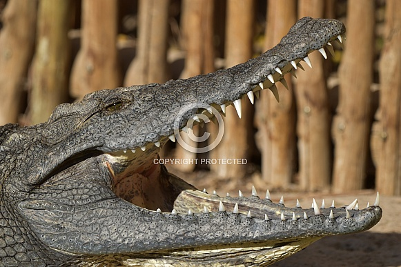 Nile crocodile with its jaws wide open