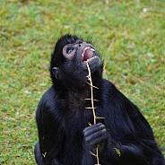 Black spider monkey
