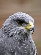 The Black Chested Buzzard Eagle