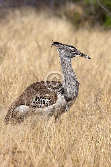 Kori Bustard (Ardeotis kori) - Namibia