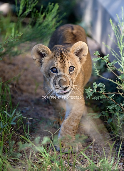 Lion cub walking in the weeds