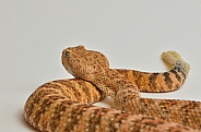Speckled Rattlesnake