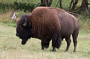 Plains Bison Bull