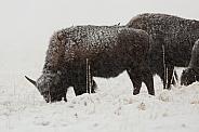 Bos bison, American bison