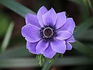 Purple anamone