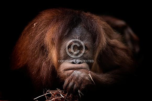 Sumatran Orangutan - Dewi