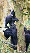 Black Bear and Cub (wild)