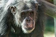 Chimpanzee Face Shot Looking Towards Camera