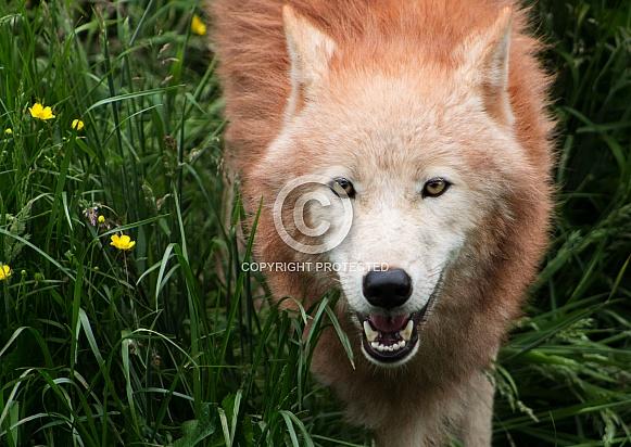 Arctic Wolf looking forward