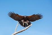 Harris's Hawk in Flight #3