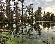 Cypress Trees in a South Louisiana Lake