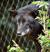 Black Wolf (colour variant of the Grey Wolf)
