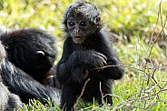 Baby Spider Monkey Sitting In Grass