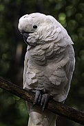 Umbrella Cockatoo Full Body On Branch
