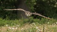 European Eagle Owl in Flight
