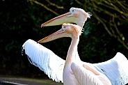 Pink Pelican couple