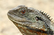 Male Water Dragon