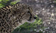 Cheetah Side Profile Stalking