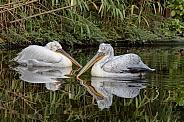 Dalmatian pelican