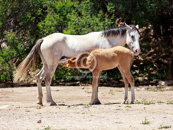 Baby wild horse nursing in Arizona