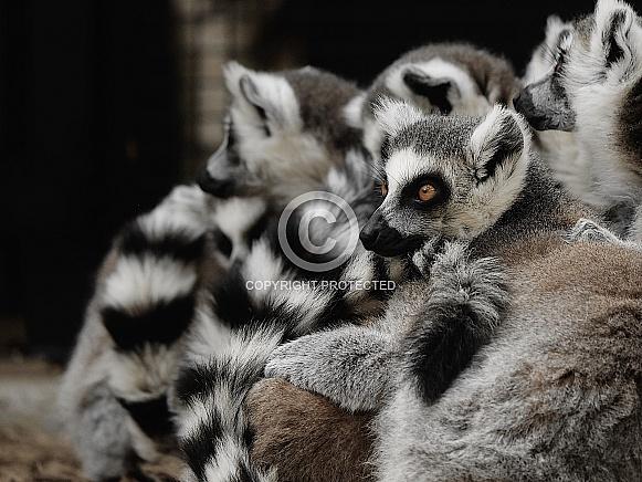 A pile of lemurs