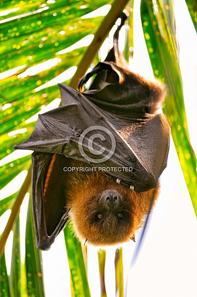 Fruit Bat