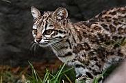 Oncilla Wild Cat