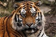 Amur Tiger Close Up