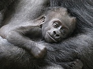 Lowland Gorilla Baby