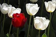 Tulips back lit.