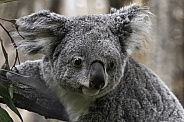 Koala Awake and Climbing
