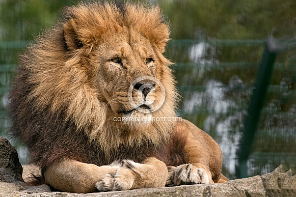 Male African Lion Lying On Rock
