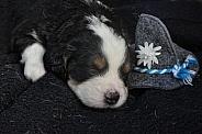 Bernese Mountain Dog Puppy