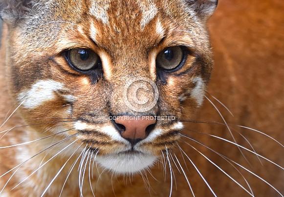 Asiatic gold cat