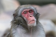 Cute Japanese macaque