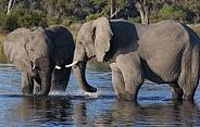 African Elephants - Savuti - Botswana