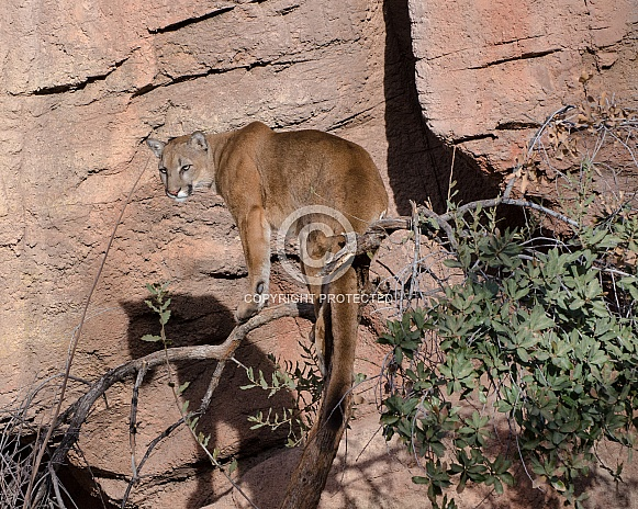 Mountain Lion up a Tree