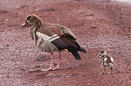 Egyptian Goose and gosling