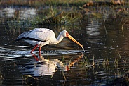 Yellow-billed Stork - Okavango Delta - Botswana