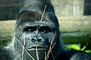 Western Lowland Silverback Gorilla With Branch