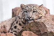 Snow Leopard Resting On Rocks