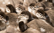 Australian wood duck ducklings (wild).